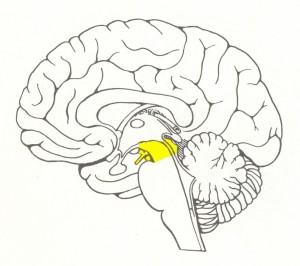 средний мозг_схематическое изображение