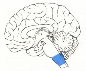 продолговатый мозг_схематическое изображение