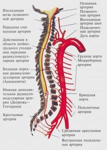 Артерия Адамкевича_в кровоснабжении спинного мозга (схема)