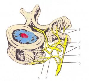 Лушки синувертебральный нерв