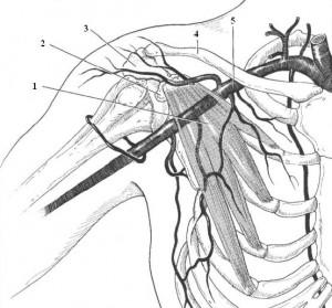 Райта проба (тест)_анатомические соотношения