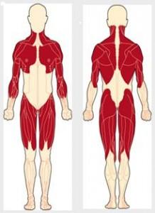 Беккера - Кинера миодистрофия_вовлекаемые мышечные группы