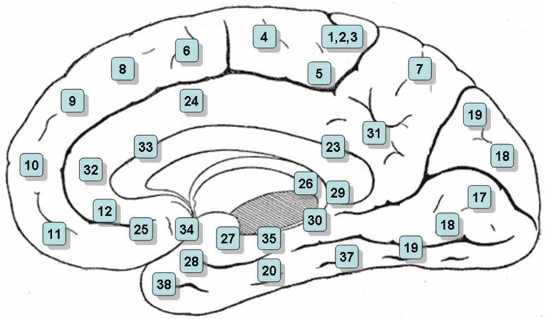 brodmann areas_medial